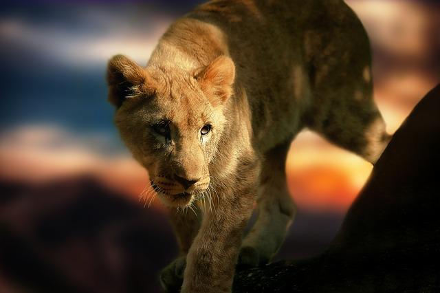 lion-cub-580906_640