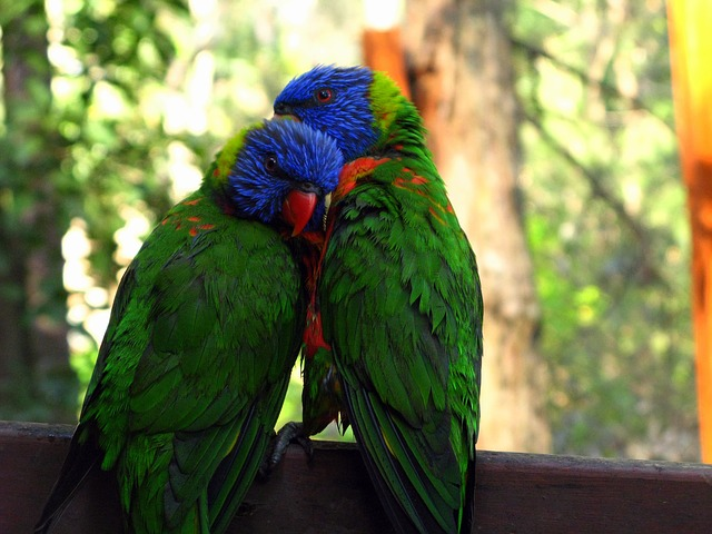rainbow-lorikeet-947196_640