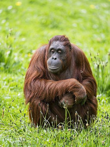orangutans photo