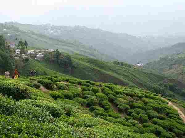 Darjeeling-Tea-Gardens