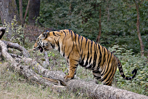 Tiger safaris photo